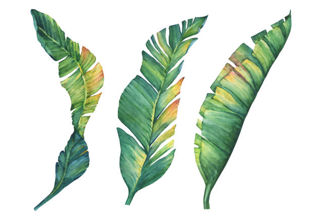 Set of exotic tropical banana leaves. Watercolor hand drawn painting illustration isolated on a white background. Set of exotic tropical banana leaves. Watercolor hand drawn painting illustration isolated on a white background. haiti stock illustrations