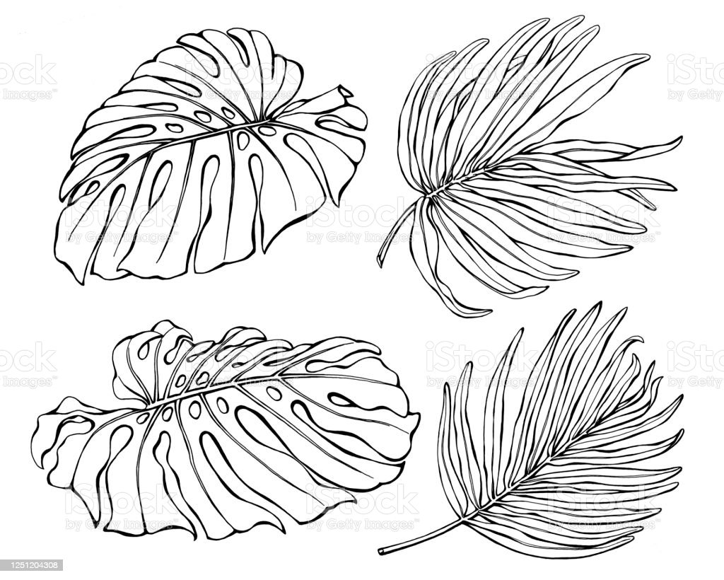 Set Of Exotic Tropical Monstera And Palm Leaves Black And White Outline Illustration Hand Drawn Work Isolated On White Background Stock Illustration Download Image Now Istock Beautiful tropical leaves banana line illustration for background, editable text. set of exotic tropical monstera and palm leaves black and white outline illustration hand drawn work isolated on white background stock illustration download image now istock