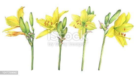 Set of flower Hemerocallis lilioasphodelus (also called Lemon Lily, Yellow Daylily, Custard Lily, Hemerocallis flava). Watercolor hand drawn painting illustration isolated on a white background.