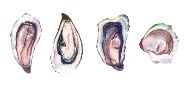 Set of four different oysters oyster vector art illustration