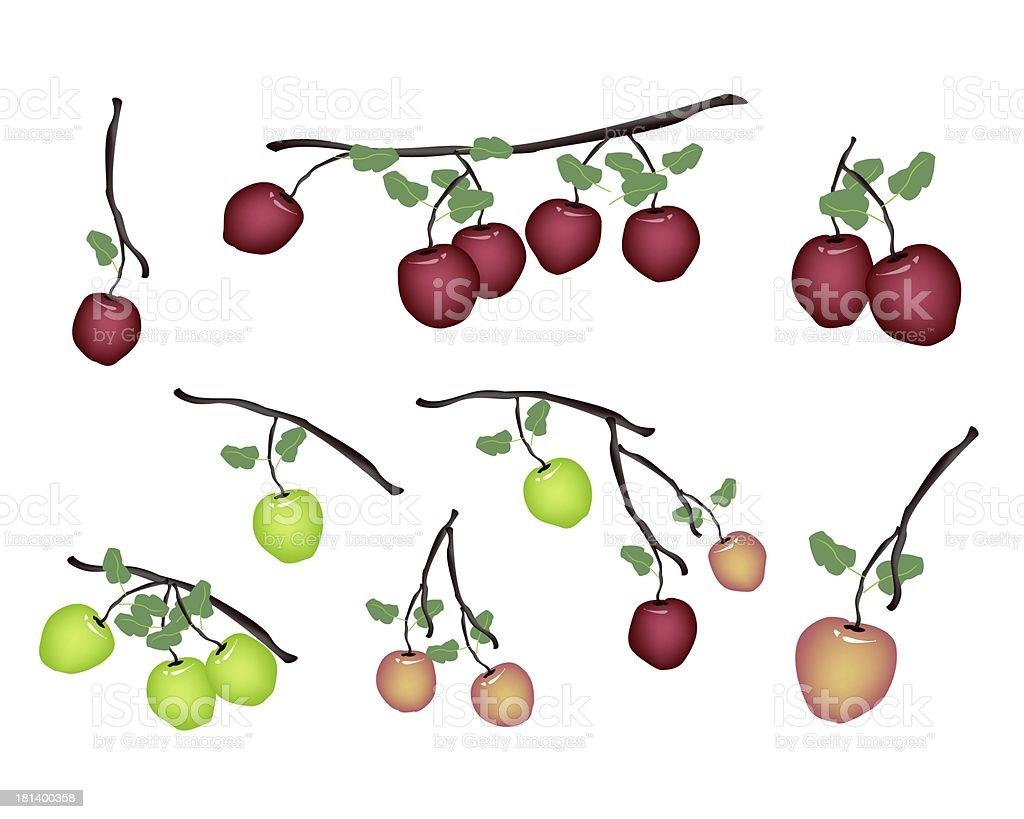 Set of Fresh Apple on White Background royalty-free stock vector art