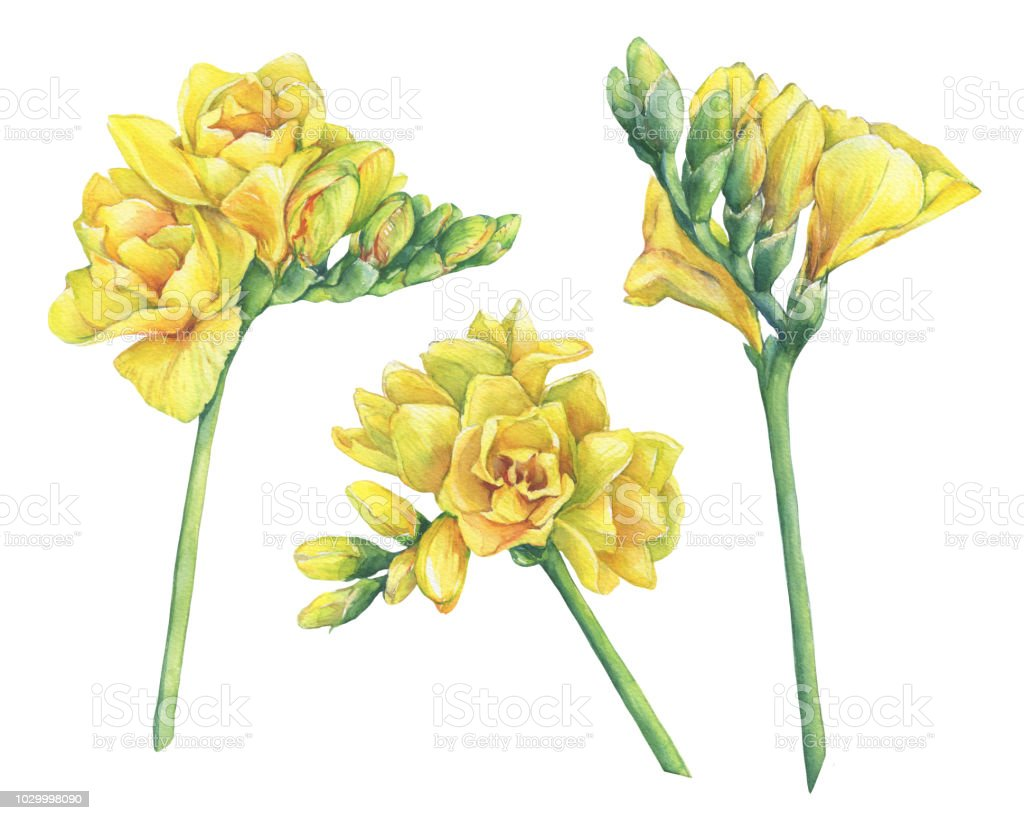 Set Of Fresh Branches Yellow Freesia Flowers With Buds Floral