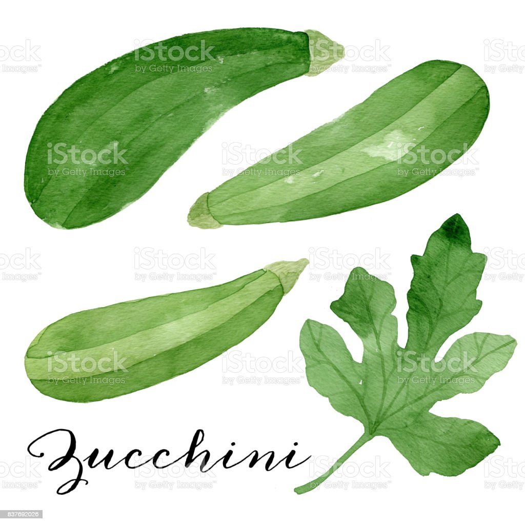 Set of green zucchini and a leaf painted with watercolor. vector art illustration