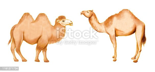 Hand drawing arabic dromedary and bactrian camel. Raster illustration on white background.