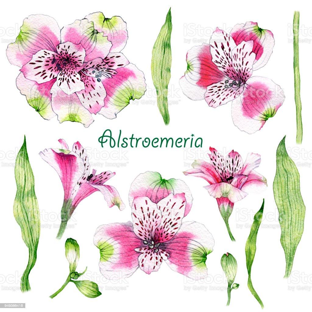 Set de acuarela dibujada mano flor de Alstroemeria - ilustración de arte vectorial
