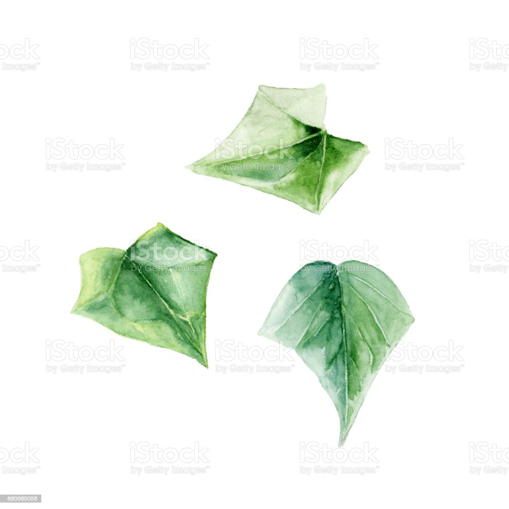 A Set Of Hand Painted Watercolor Illustrations Ivy Leaves On White Royalty Free