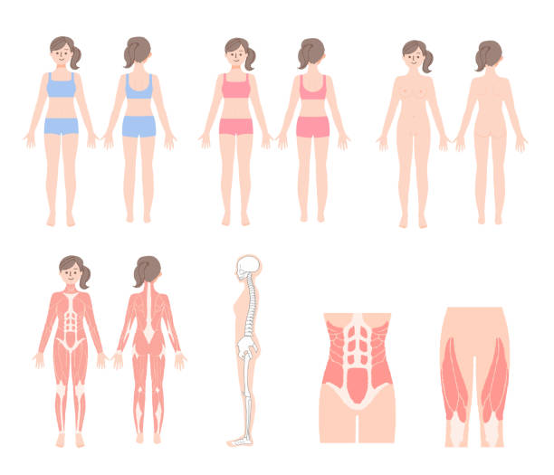 Set of human body muscles and skeleton Medical, healthcare, body, woman lateral surface stock illustrations