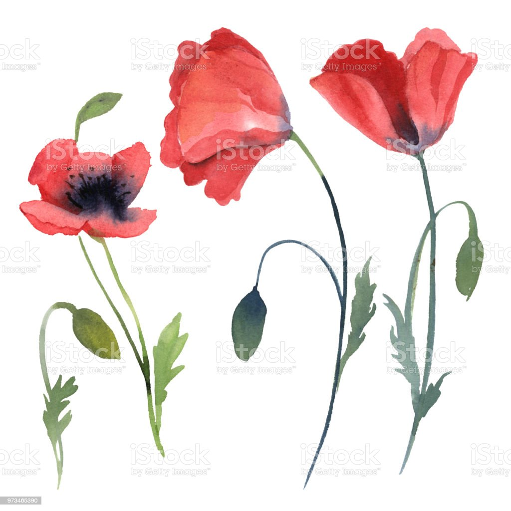 Set Of Red Poppy Flowers Leaves Isolated On White Background Stock