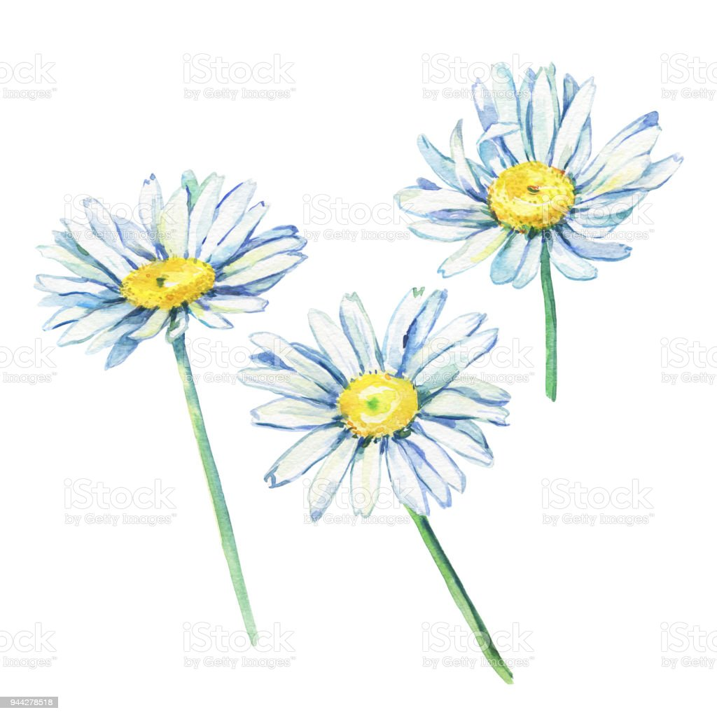 Set Of The Branches Flowering Daisies Watercolor Hand Drawn Painting