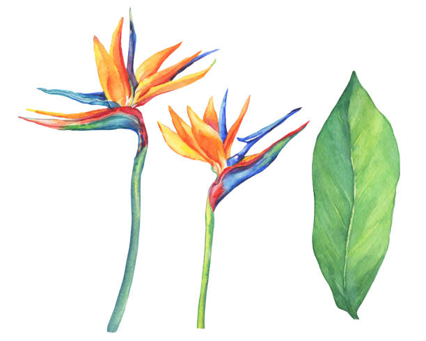 Set of tropical flower Strelitzia reginae. Hand drawn watercolor painting on white background. Set of ropical flower Strelitzia reginae. Hand drawn watercolor painting on white background. bird of paradise plant stock illustrations