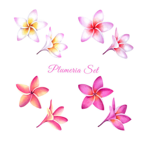 Set of tropical plumeria plants. Set of tropical plumeria plants. Isolated realistic watercolor illustration of fragipani flowers. frangipani stock illustrations