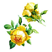 Set of two yellow roses isolated on white background, painted in watercolor.