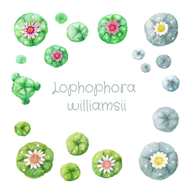 Set of various colored flowering watercolor hand drawing peyote Lophophora williamsii cactus on white background vector art illustration