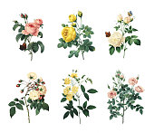 Set of various roses | Antique Flower Illustrations