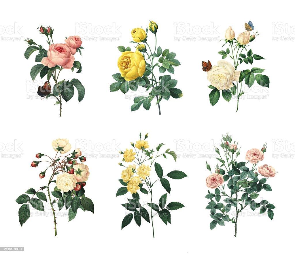 Set of various roses | Antique Flower Illustrations vector art illustration