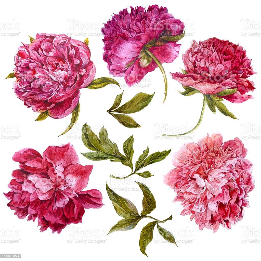 set of watercolor dark pink peonies separate flower leaf