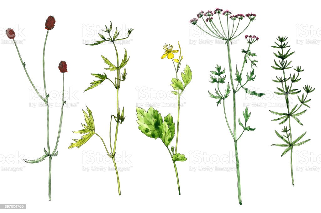 Ensemble De Plantes Et De Fleurs Dessin Aquarelles Vecteurs