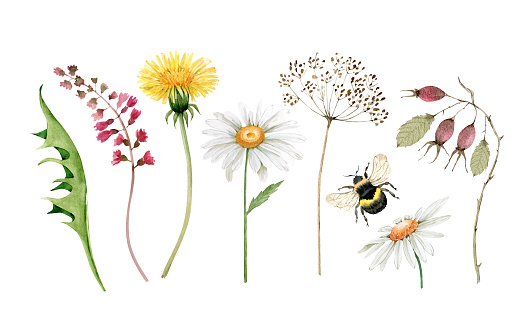 set of watercolor illustrations of meadow flowers and green leaves on a white background. hand painted for design and invitations.