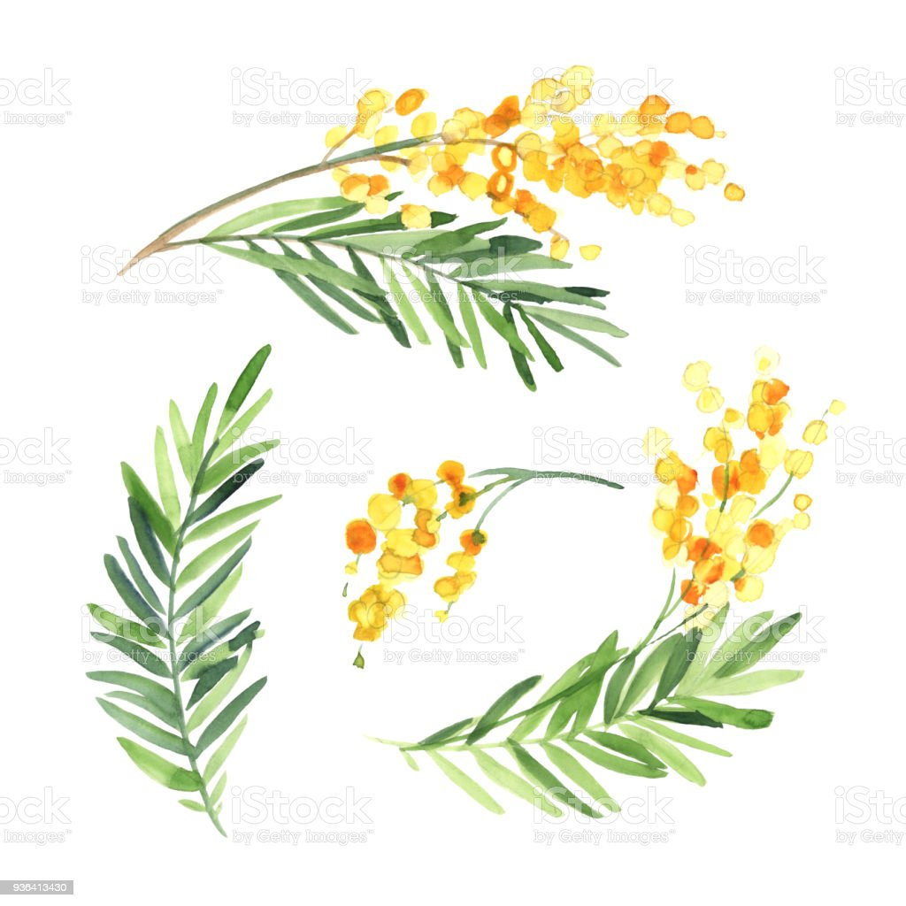 Set Of Watercolor Mimosa Flower Isolate On White Background Flowers