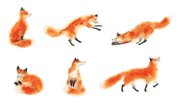 Set of watercolor red fluffy foxes in motion on white vector art illustration