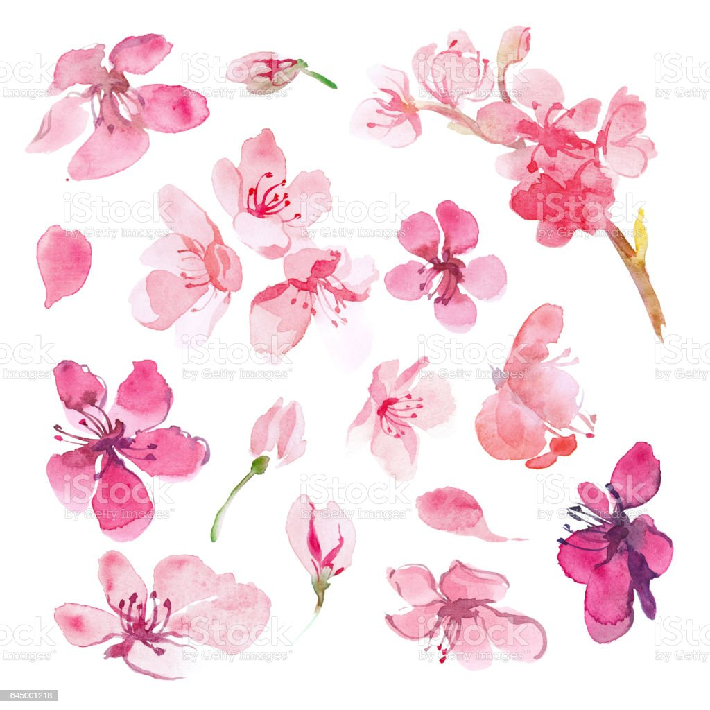 Set of watercolor sakura flower. Cherry flower. vector art illustration