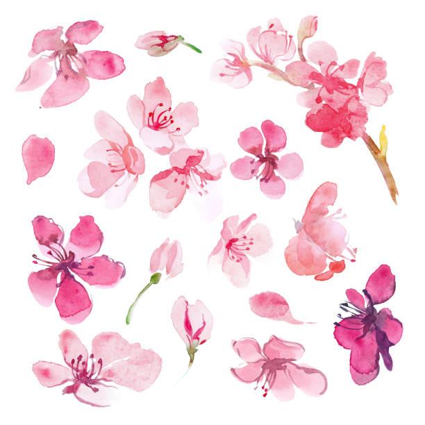 Set of watercolor sakura flower. Cherry flower. vector art illustration
