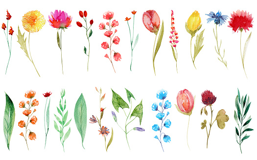 Set of watercolor summer wildflowers: dandelion, cornflower, clover, tulip; hand painted isolated illustrations on a white background