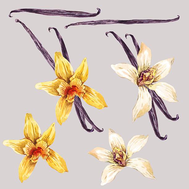 stockillustraties, clipart, cartoons en iconen met set of watercolor white and yellow orchid - vanille