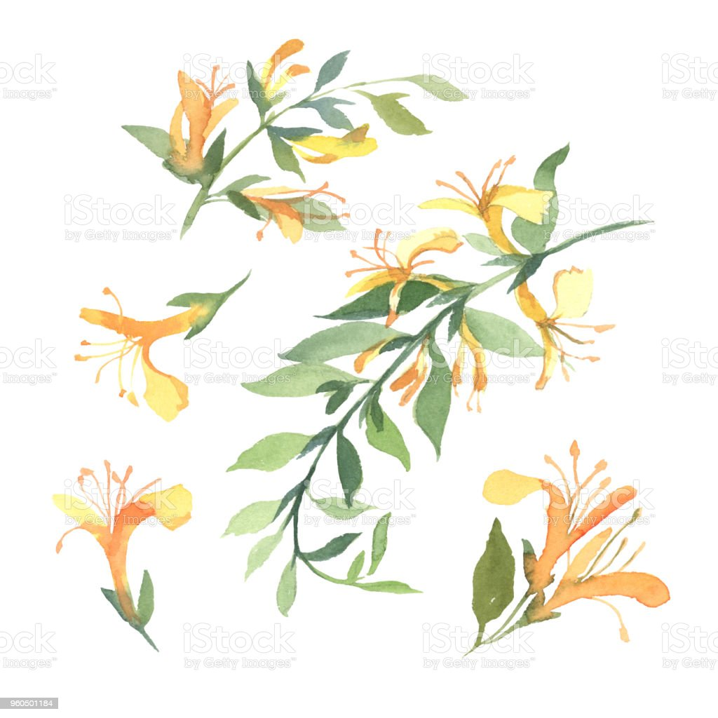 Set Of Watercolor Yellow Honeysuckle Flower Isolate On White