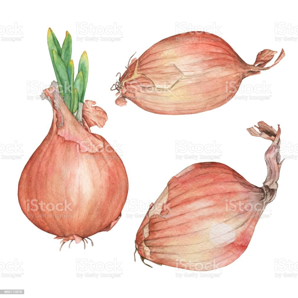 Set onions. Watercolor illustration. vector art illustration