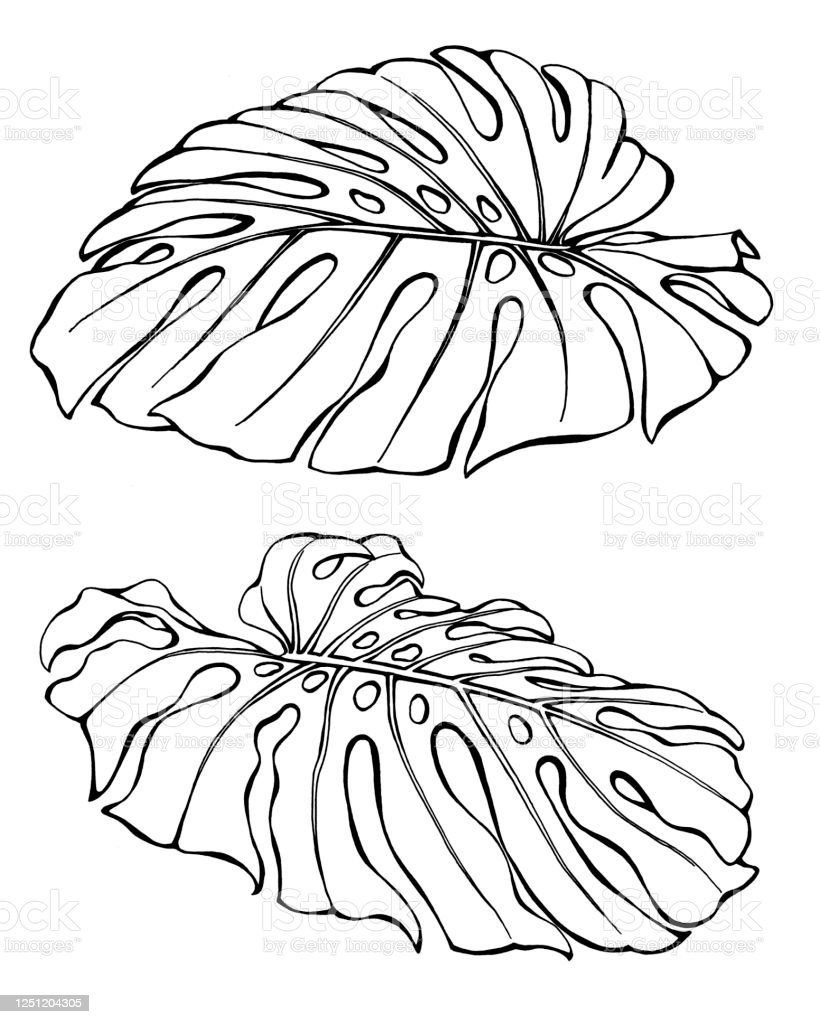 Set Tropical Jungle Leaves Of Monstera Deliciosa Black And White Outline Illustration Hand Drawn Work Isolated On White Background Stock Illustration Download Image Now Istock Leaf outline tropical outline leaf tropical leaf outline tropical nature plant background leaves green maple leaf symbol tree element decoration autumn fall decorative spring environment veins flower icon ornate abstract floral fine illustration and painting shape. set tropical jungle leaves of monstera deliciosa black and white outline illustration hand drawn work isolated on white background stock illustration download image now istock