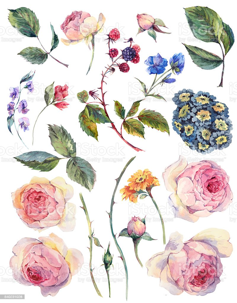 Set vintage watercolor elements of English roses vector art illustration