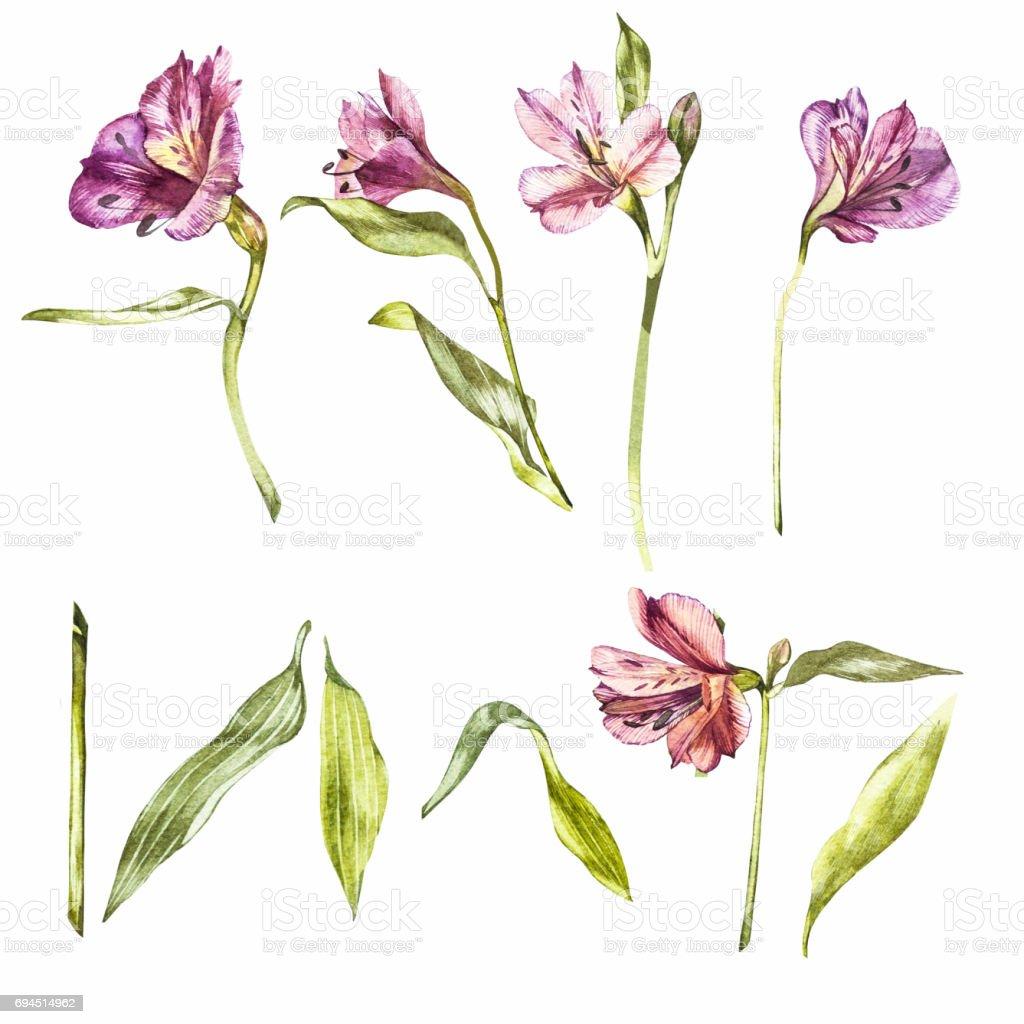Sets acuarelas de flores de lirio. Ilustración botánica. - ilustración de arte vectorial