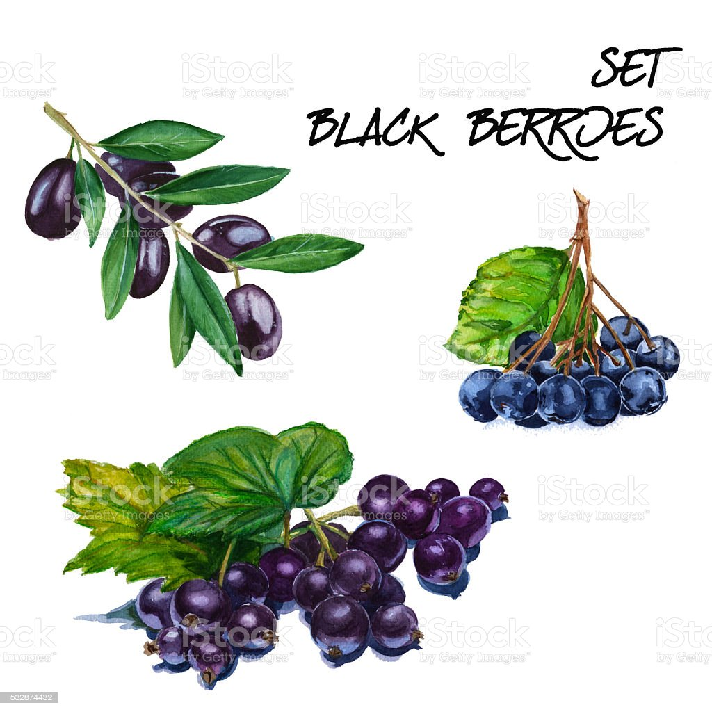 Set with black currant, mountain ash and black olive branch. vector art illustration