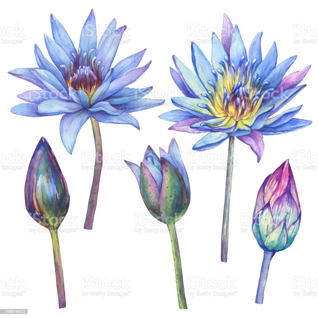 Set With Flowers Blue Egyptian Lotus Watercolor Hand Drawn Painting