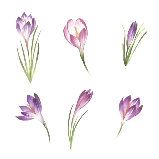 illustrations, cliparts, dessins animés et icônes de sertie de crocus de fleurs. main dessiner illustration aquarelle. - crocus