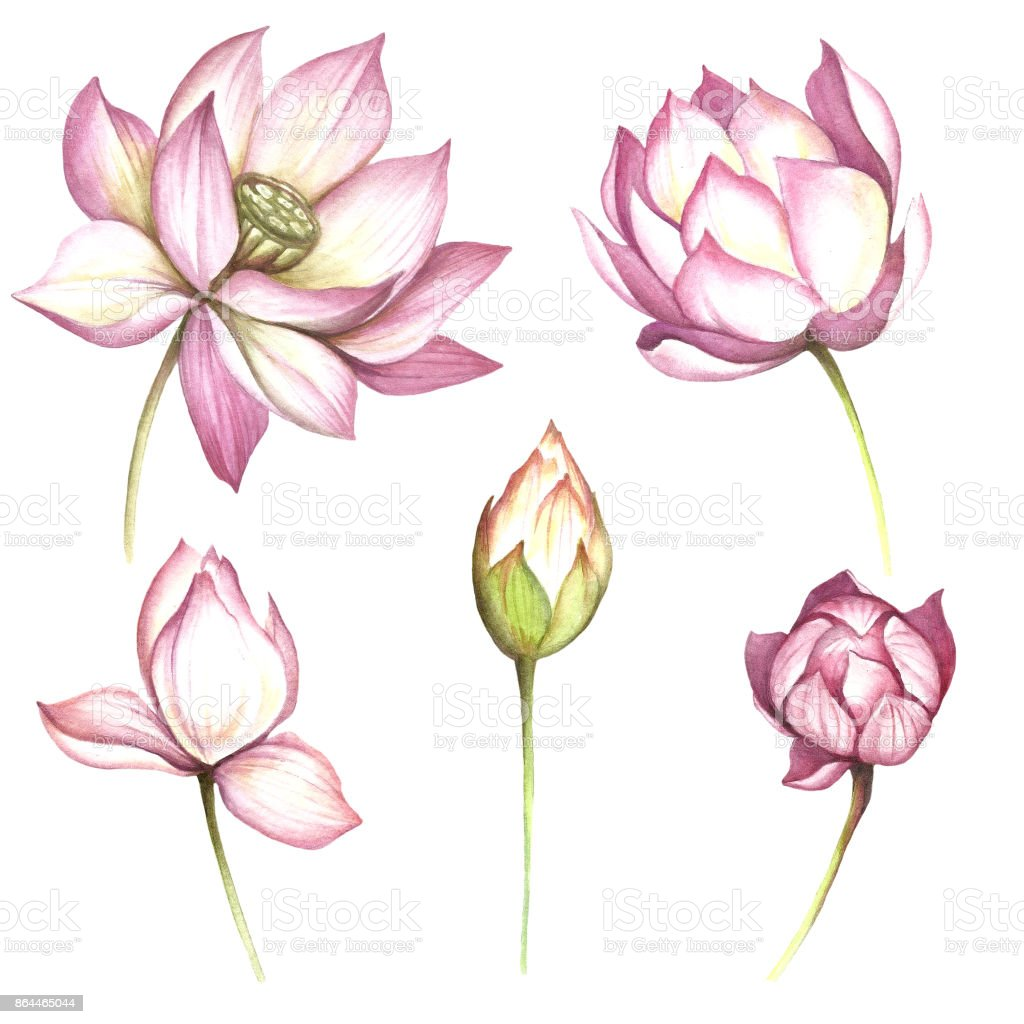 Set With Flowers Lotus Hand Draw Watercolor Illustration Stock