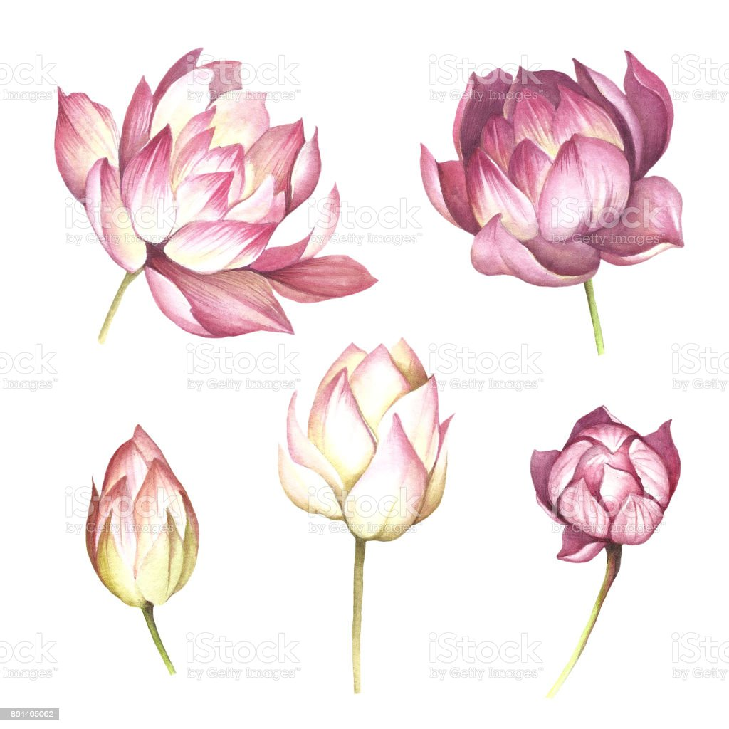 Set with flowers lotus hand draw watercolor illustration stock botanical garden bouquet flower flower arrangement lotus water lily izmirmasajfo