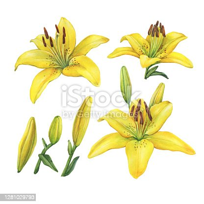 Set with Lilium Yellow Diamond flower. Watercolor hand drawn painting illustration, isolated on white background.