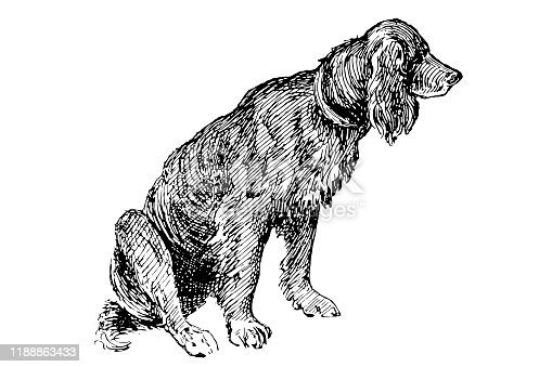 Illustration of a Setter dog