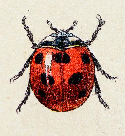 Seven-spot ladybird, insect animals antique illustration