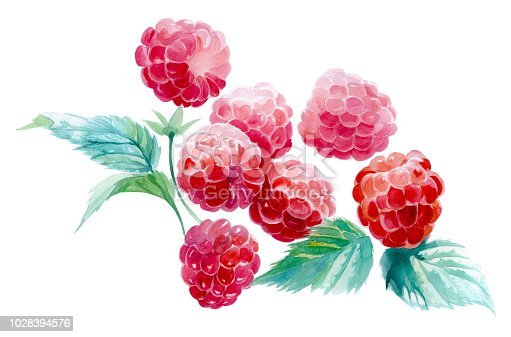 several raspberries on a white background. watercolor painting