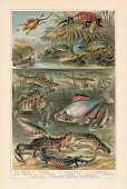 Sexual dimorphism at lizards, amphibians, and fish, chromolithograph, published 1897