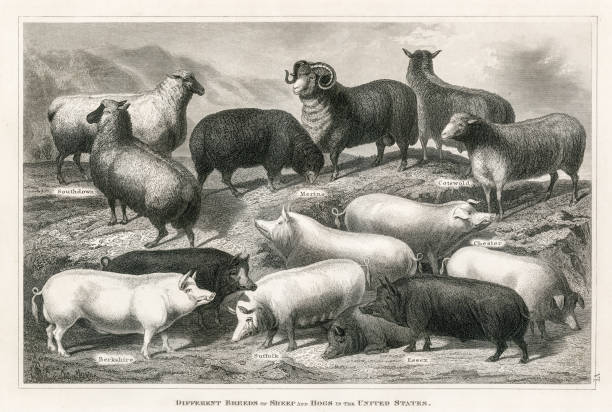Sheep and hogs engraving 1873 vector art illustration