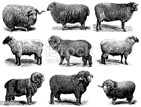 Illustration of a sheep breeds: Merino sheep Electoral-Negretti,  Hampshire or Hampshire Down sheep, Shropshire sheep, Negretti merino sheep, Cotswold sheep, Heidschnucke, Soissonais sheep,  Southdown sheep