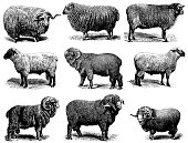 Illustration of a sheep breeds: Merino sheep Electoral-Negretti,  Hampshire or Hampshire Down sheep, Shropshire sheep, Negretti merino sheep, Cotswold sheep, Heidschnucke, Soissonais sheep,  Southdown sheep