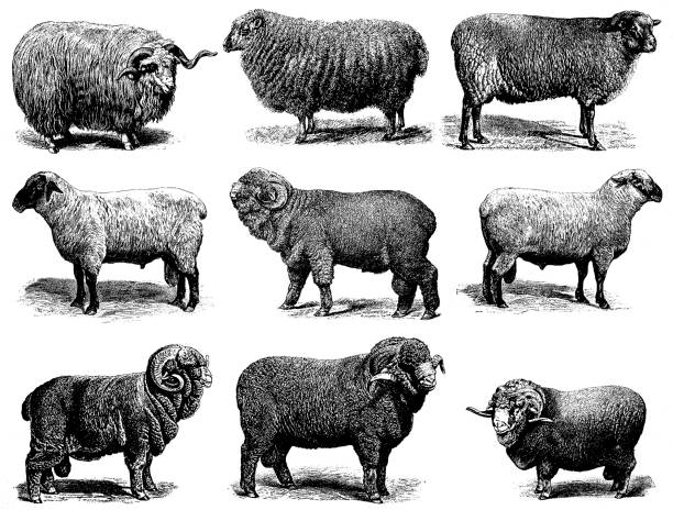 Sheep Breeds Illustration of a sheep breeds: Merino sheep Electoral-Negretti,  Hampshire or Hampshire Down sheep, Shropshire sheep, Negretti merino sheep, Cotswold sheep, Heidschnucke, Soissonais sheep,  Southdown sheep merino sheep stock illustrations