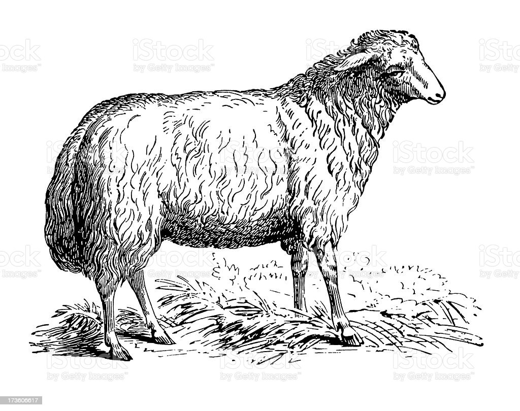 Mouton - Illustration vectorielle