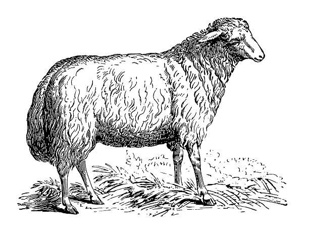 stockillustraties, clipart, cartoons en iconen met sheep - schaap
