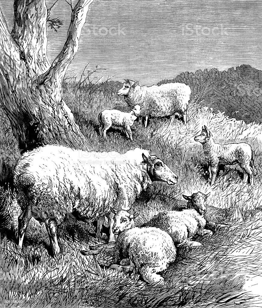 Moutons dans un champ - Illustration vectorielle